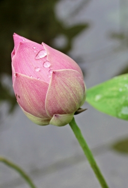 A Lotus in the morning